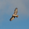 Floyd County - Red-Tailed Hawk (6)