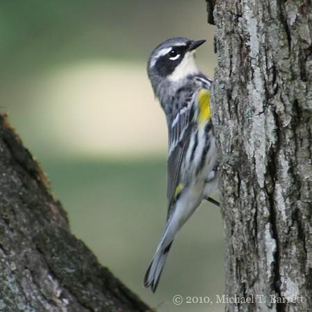 Yellow Rumped Warbler #2