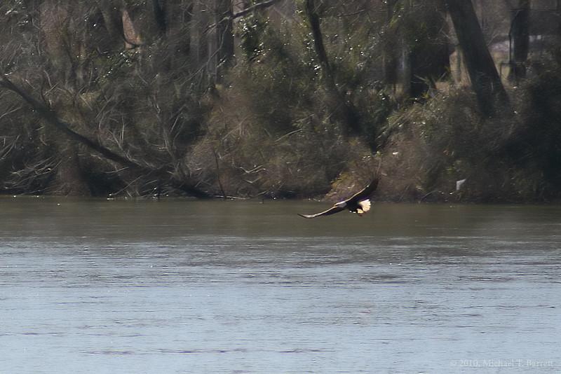 Bald Eagle (7)