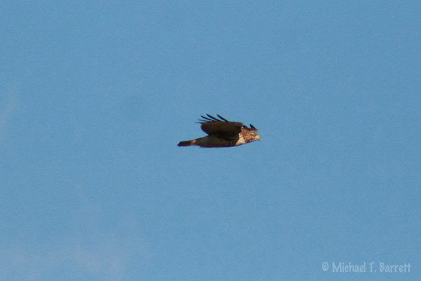 Floyd County - Red-Tailed Hawk (5)