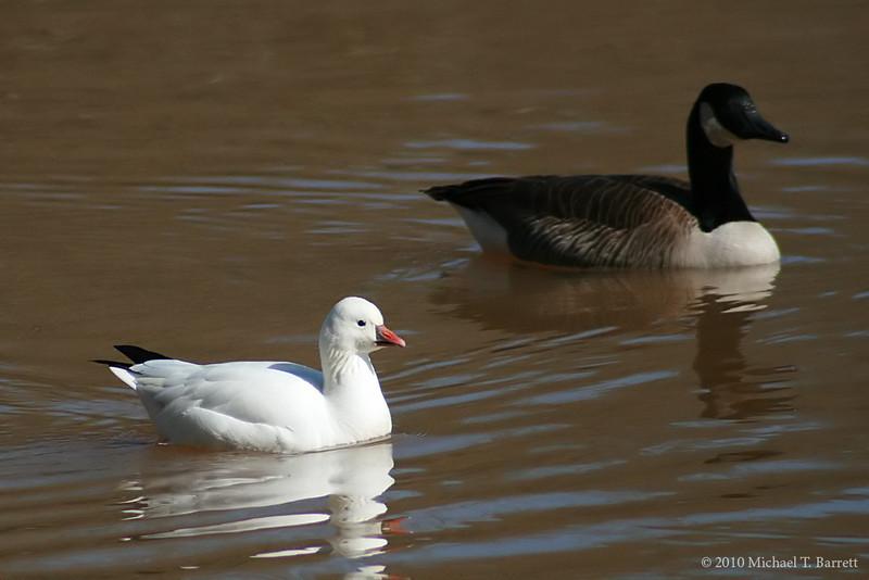 Ross's Goose (3)