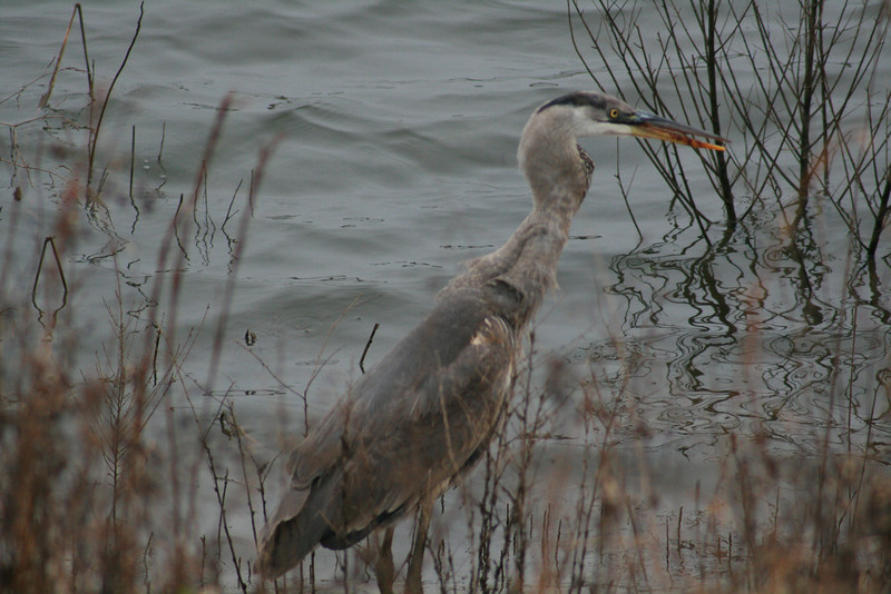 Great Blue Heron with a fish in its throat.