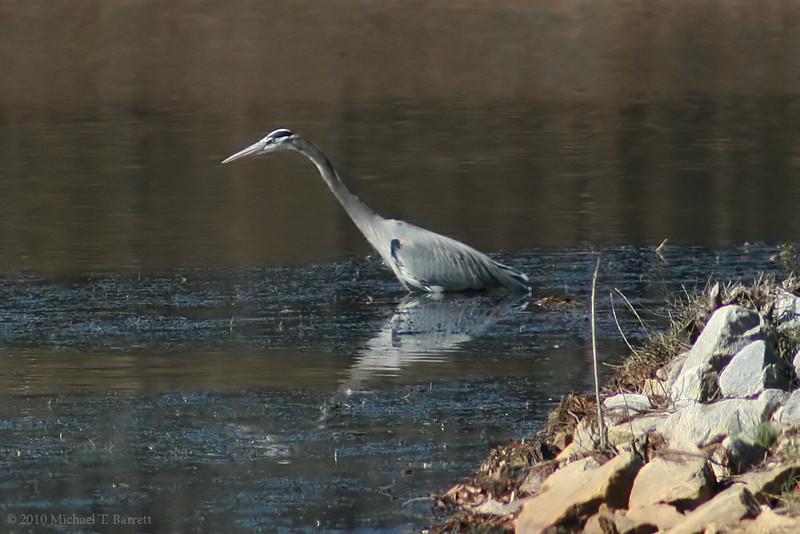 Great Blue Heron (4)