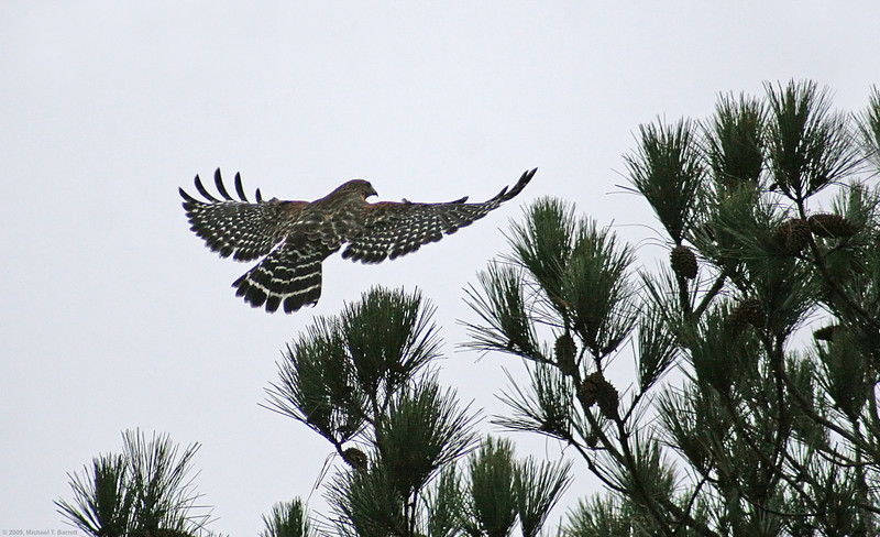 Red Shouldered Hawk Landing