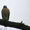 Red Shouldered Hawk Watching