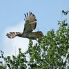 Red-Tailed Hawk #4