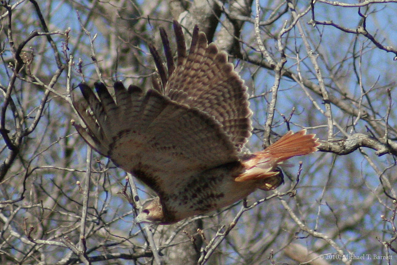 Red Tailed Hawk (4)