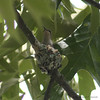 Hummingbird In The Nest #2