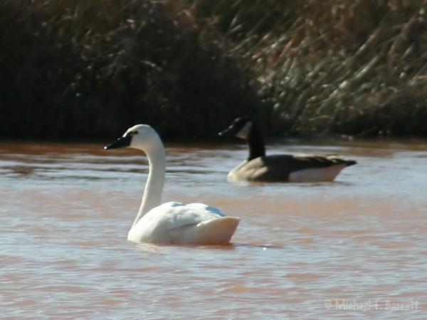 Floyd County - Tundra Swan (4)