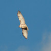 Floyd County - Red-Tailed Hawk (8)