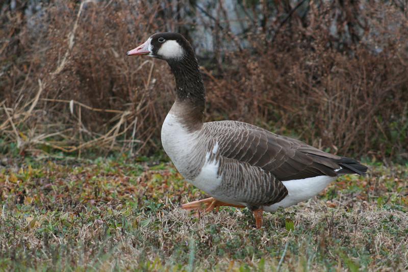 The Strangest Goose