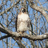 Red Tailed Hawk (2)