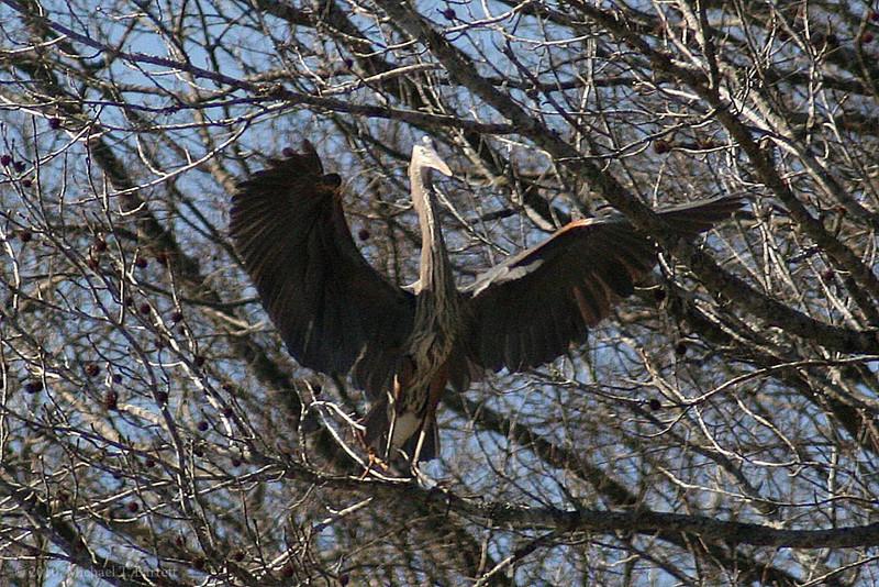 Great Blue Heron (3)