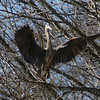 Great Blue Heron (3)