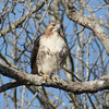 Red Tailed Hawk (1)