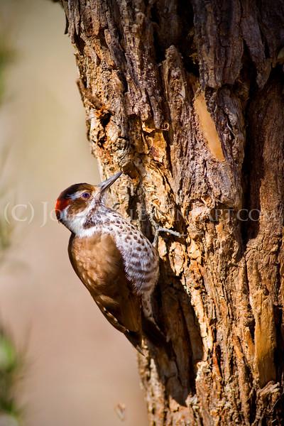 """""""Arizona Woodpecker."""""""