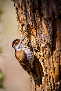 """Arizona Woodpecker."""