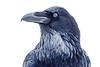 """Winter Raven."""