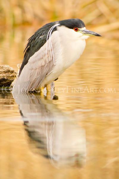 """""""Black-crowned Night Heron."""""""