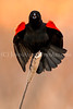"""Morning Blackbird"""
