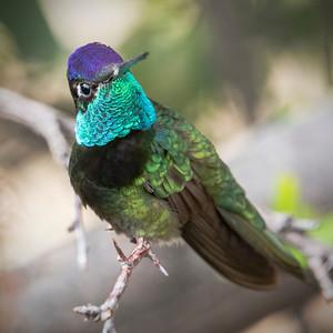 """Rivoli's Hummingbird"""