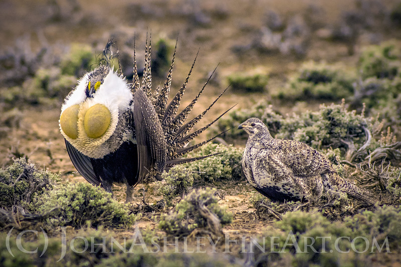 """""""Greater Sage Grouse"""""""
