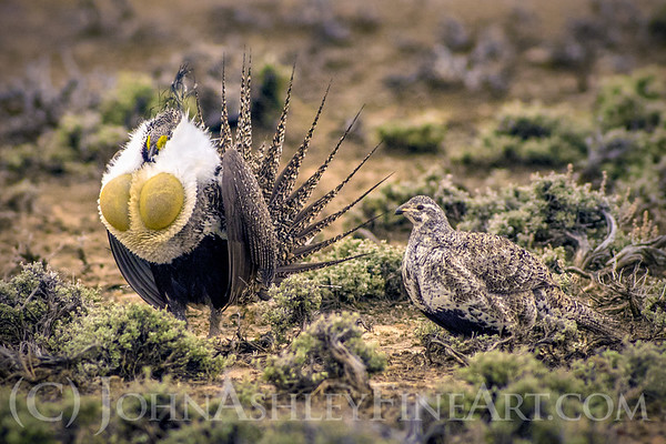 """Greater Sage Grouse"""