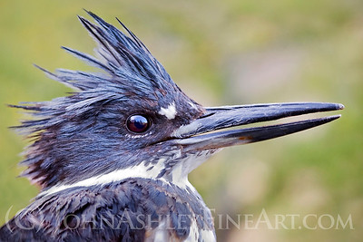 """Kingfisher Portrait"""