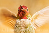 """Anna's Hummingbird (male)."""