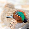 """""""Green-winged Teal pair (square)."""""""