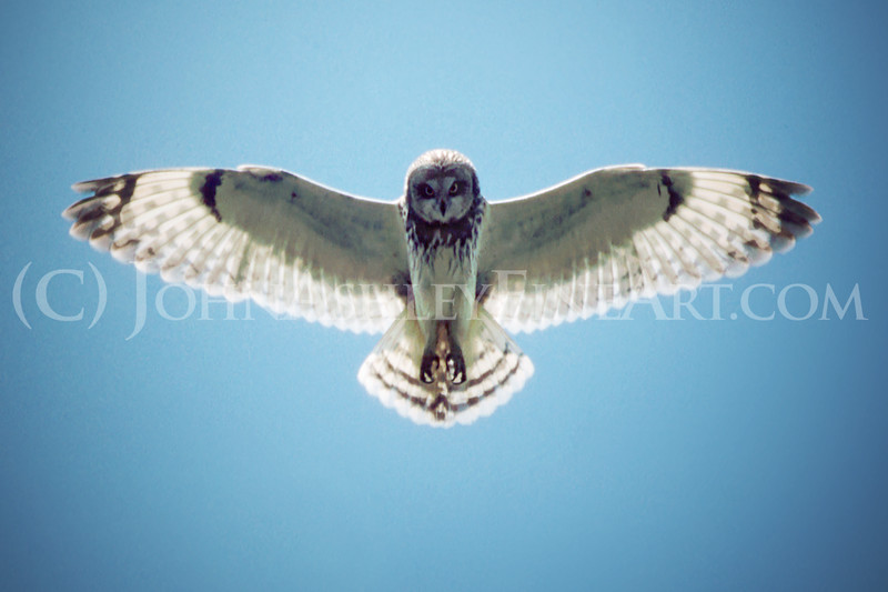 """Short-eared Owl."""