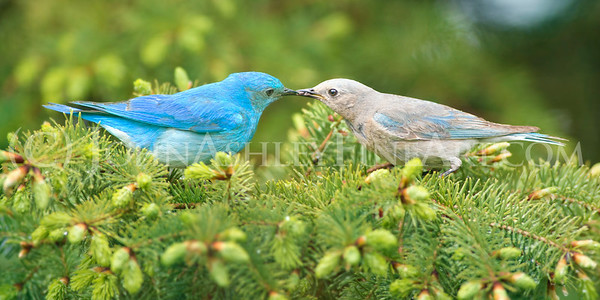 """Bluebirds of Happiness"""