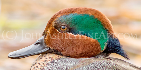 """Green-winged Teal Drake."""