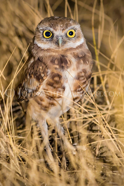 """Burrowing Owl"""