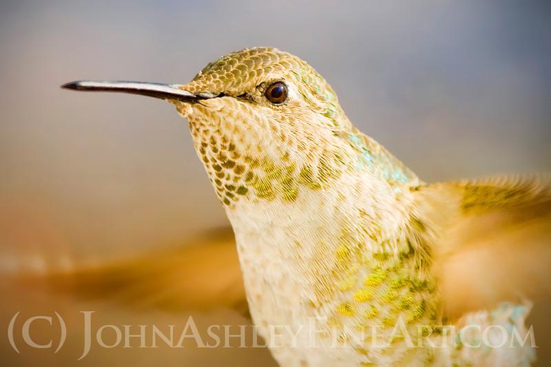 """Anna's Hummingbird (female)."""