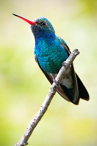 """Male Braod-billed Hummingbird."""