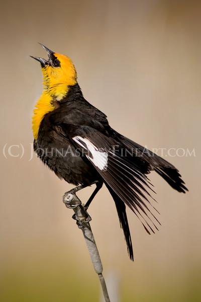"""Yellow-headed Blackbird."""