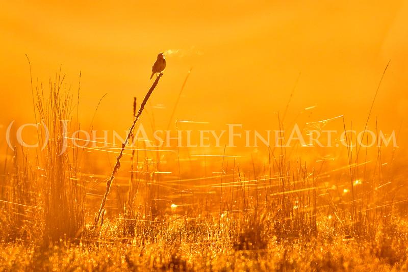 Bird Song at Dawn