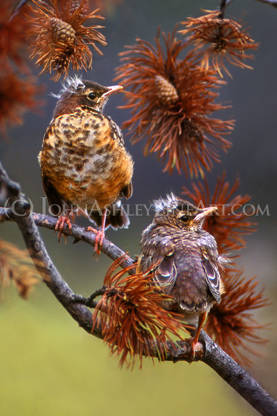 """""""Young Robins."""""""