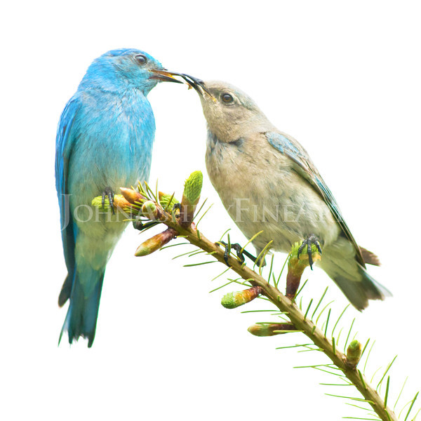 """Bluebird Couple"""