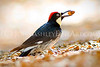 """Acorn Woodpecker (profile)."""