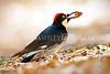 """""""Acorn Woodpecker (profile)."""""""