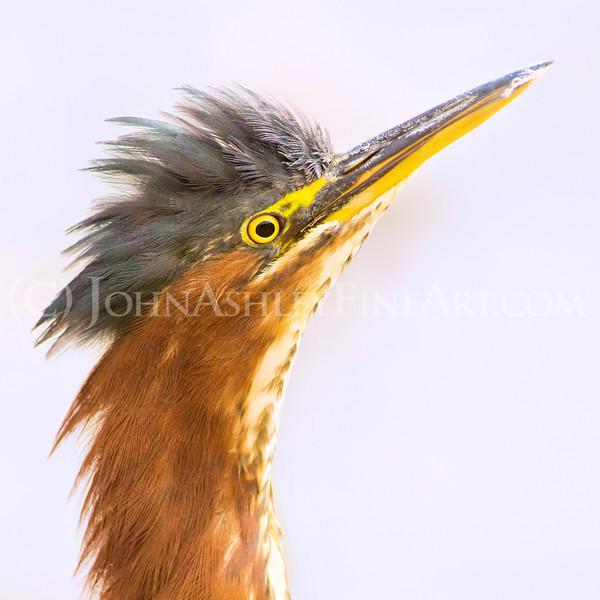 """Green Heron Portrait"""
