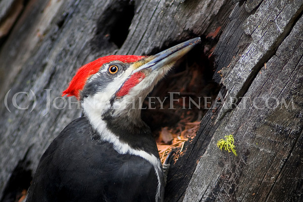 """Pileated Portrait."""