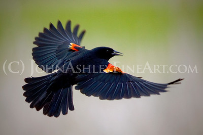 """Red-winged Blackbird."""