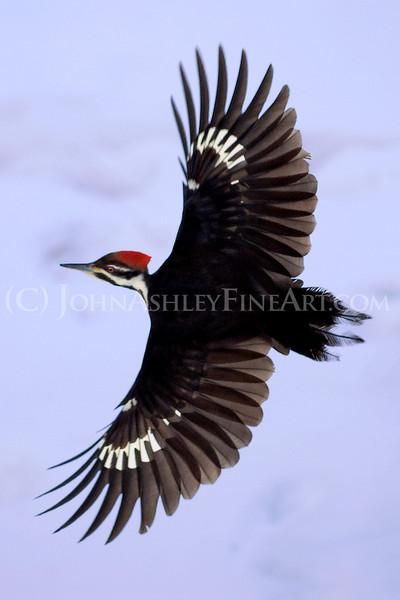 """Pileated Woodpecker."""