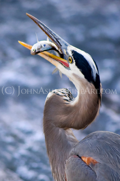 """Great Blue Heron Gulp (vertical)."""