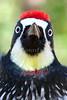 """""""Acorn Woodpecker (portrait)."""""""