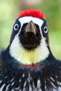 """Acorn Woodpecker (portrait)."""