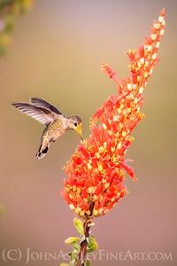 Ocotillo Hummingbird